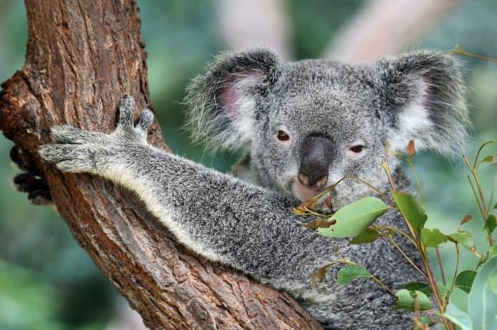 Koala in a tree, stock photo by David Clode on Unsplash