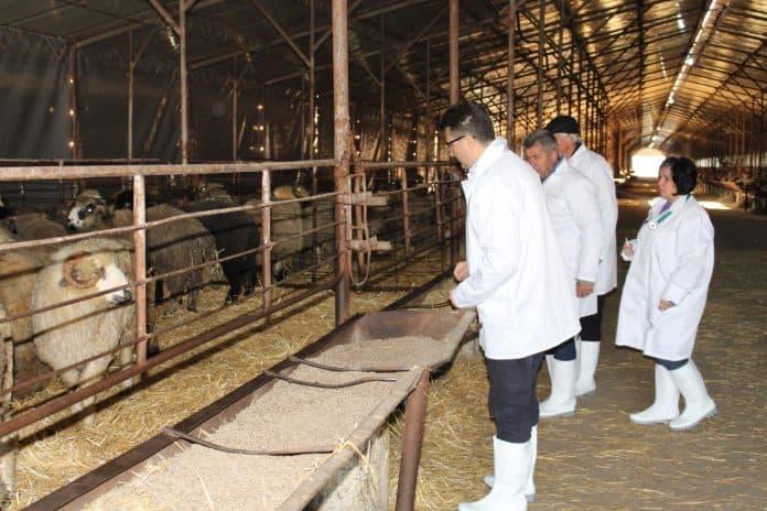Veterinarians check on sheep, Dec 5, picture: ARCA