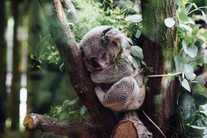 Koala sleeping in tree, Photo by Jordan Whitt on Unsplash
