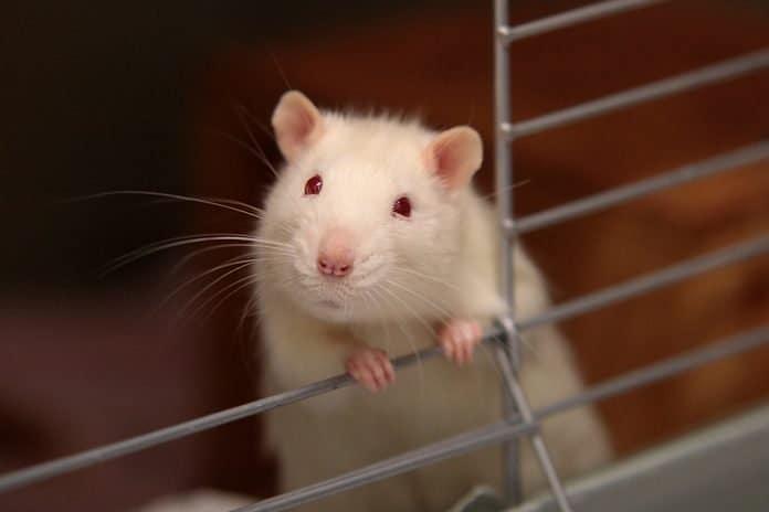 White mouse in cage, photo: vaun0815 on Unsplash