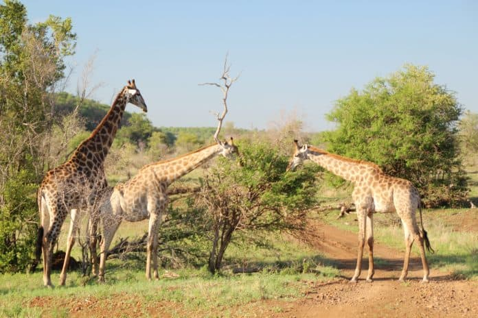 Three giraffes in the wild, Photo by juju hoder on Unsplash